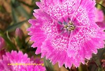 Pink in my Garden / Trees, shrubs, perennials, annuals, and other plants with pink color that I have planted in my yard or garden. / by Anne Carter