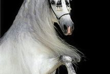 Andalusians / by Mary Flint Vandenabeele