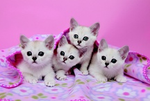 BURMILLA / by Cat Fanciers Association