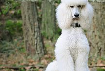 Just Poodles / by Carol Incrapera