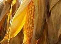 corn / by Marne Sigado