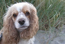 **Cocker Spaniels** / Welcome!! Pin your favorite cocker spaniel photos only..no spam!! Thanks for joining!! / by MomBHM
