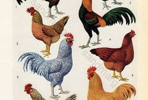 Roosters & Chickens Hens / Cock A Doodle Do / by Linda McRea