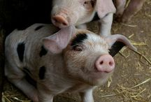Pigs are the cutest animals on earth! / by Cindy Scott Carter
