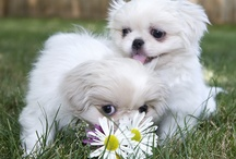 Dogs / Favorite breeds - Dachshunds and Pekingese / by Marilyn Giuntini