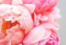 A love for peonies / by Narelle Morris