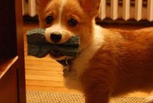 CORGIS! (& other cute critters) / by Sarah Kervin
