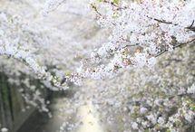 ー桜ー / 日本を代表する「花」 / by Dai-chan Ohmae
