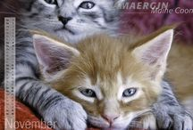 Gifts for Maine Coon Cat Lovers / by Ege Moments