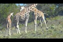Wildlife videos / Wildlife videos from Fossil Rim and other wildlife parks / by Fossil Rim Wildlife Center
