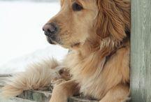 Our Golden retriever / by Cassie Sundell