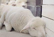 Sheep / by Maya Sagi Grossman