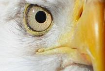 Raptor - Eagles / Eagles / by Eugenia LaVonne Jackson