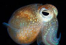 Cephalopoda / by Tamarah Rockwood