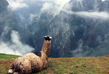 Alpacas & Llamas / by Ashley Stelzer | AE Stelzer Photography