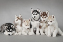 Huskies and.... / by Jen Kelley