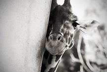 Beautiful Giraffes / by Kathy Montminy Mensalvas