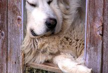 Great Pyrenees   / We have a Great Pyrenees named Conor...any time I see pictures of other Greats it just reminds me of how gentle this breed really is.  I think they are beautiful, majestic dogs. Please note these are not pictures of Conor...just love the breed! / by Terri Kreger