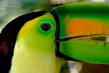 Birding Belize -  Robert's Grove Beach Resort / Discover the flamboyant, wild, tropical birds of Belize while on tour with Robert's Grove Beach Resort. http://www.robertsgrove.com/belize-tours / by Robert's Grove Beach Resort = 5 Star Padi Diving