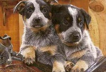 Blue heeler dogs / by Kathy Moore