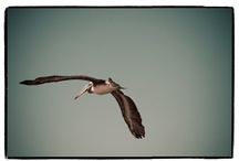 for the love of pelicans / by Elizabeth Olsen