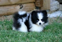 Pomeranians and other dogs / by Melissa Garrison