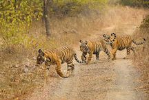 Ranthambore Tigers Family / by Ranthambore National Park