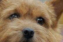 Norwich Terrier / by LB Paxterra