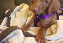 My vizsla / Best breed ever! / by Meg Saboda