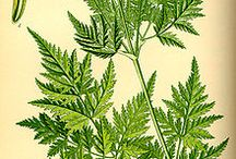 Herbs and uses / by karen colleran