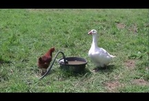 Chickens / #Chickens / by My Lap Shop Publishers