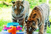 Big Cats / by Minnesota Zoo