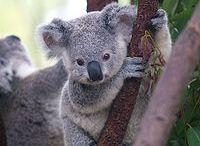Koalas / by Maria Prat