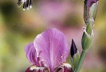 Iris-My favorite / by Barbara Rottier-Robinson