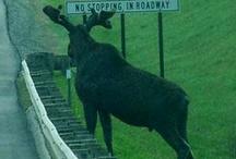 eland moose  elk / Geweldige dieren die elanden !! / by Ria Dupont van Rheenen