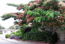 Shade Trees / Tree which would grow well in the San Francisco Bay area / by Tony Di Bona