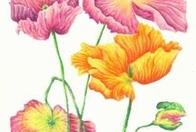 Botanical Art / I love to use watercolour and polychromos Pencils to try to capture beautiful flowers ... I blog about my  work and you can contact me at http://traceyfletcherking.blogspot.com.au/ / by Tracey Fletcher King