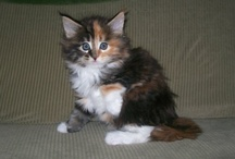 Maine Coon / by Kathleen G