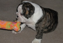 Miss Maizey / Pics of my English Bulldog. / by Jami Page