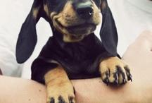 Dachshunds & Pups / by Gavin Skeels