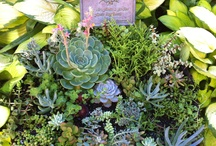 Succulents and Sedum / There can be no other occupation like gardening in which, if you were to creep up behind someone at their work, you would find them smiling.  ~Mirabel Osler / by The Cre8tive Collaboration Gang