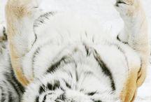 Tigers, Lions, Cougars, Jaguars, etc. / Wild Big Cats / by Virginia Roberts