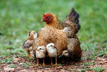 Chickens <3 <3 <3 / by Michelle Counts