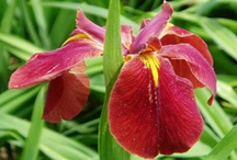 Individual Flower Essences / by Inner Sight | Isha Lerner Enterprises
