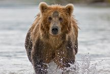 North American Big Game Animals / by Chris Burget