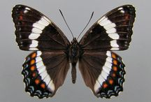 Butterflies / Guide for butterfly identification / by Anne Other