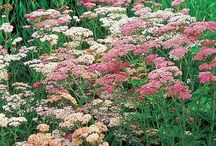 Perennials / Plants I want in my garden / by Linda Pearrell