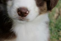Aussiieeesss / My fav dog / by Sharon Rose