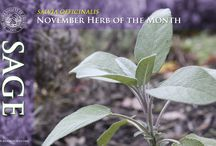 Sage / The Herb Society of America's Herb of the month for November! / by Herb Society of America