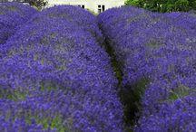 Lavender Fields / by Tina Ehler